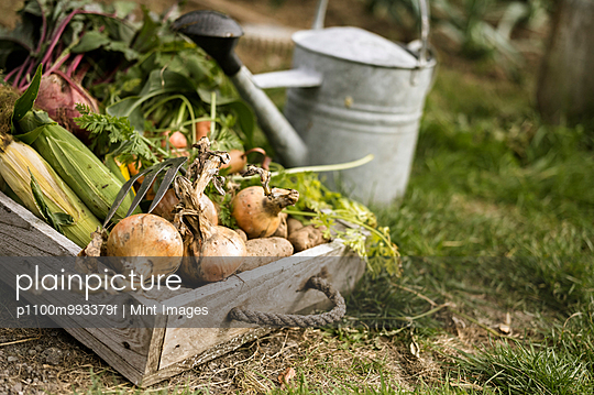 Watering can and wooden box full of freshly picked vegetables, including carrots, onions, beetroots, corn and potatoes. - p1100m993379f by Mint Images