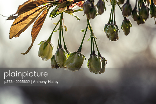 Close-up of flower buds - p378m2235632 by Anthony Hatley