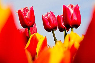 Red tulips, Wooden Shoe Tulip Farm, Oregon, USA - p4428543f by Design Pics