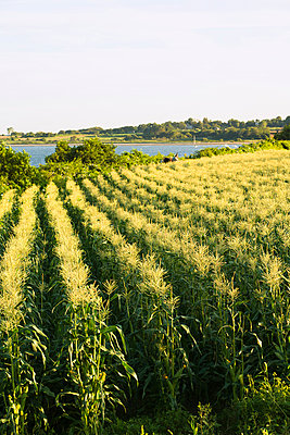 Agriculture, Field of mature sweet corn plants in afternoon sunlight at a local family produce farm with the Sakonnet River in the background, Little Compton, Rhode Island, USA. - p442m936654f by Marianne Lee