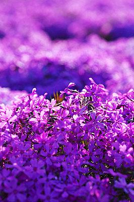 Moss Phlox Subulata, Hokkaido Prefecture, Japan - p5149516f by Image House