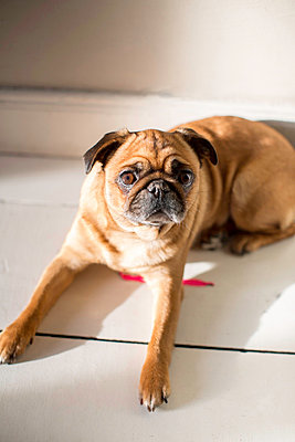 Pug dog - p1076m851653 by TOBSN
