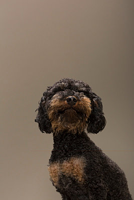 Toy poodle I - p1076m859346 by TOBSN