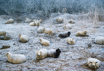 Sheep grazing in snowy pasture - p42919040f by Mischa Keijser