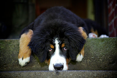 Bernese mountain dog - p545m822697 by Ulf Philipowski