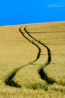 Tire tracks in a wheat field Auvergne. France. - p813m924349 by B.Jaubert