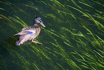 Ente schwimmt im Seegras - p1486m1589833 von LUXart