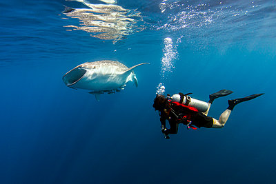 Indonesia, Papua, Cenderawasih Bay, diver watching Whale shark - p300m1505434 by Torsten Velden