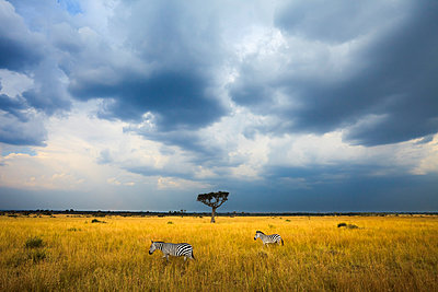 Two Zebras (Equus quagga) walk beneath storm clouds in Kenya's Masai Mara. - p343m989338f by Grant Ordelheide