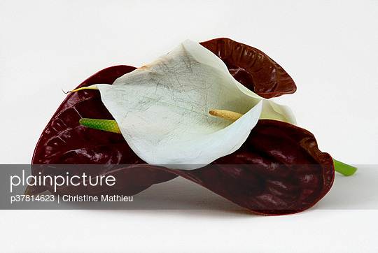 Two flowers together - p37814623 by Christine Mathieu