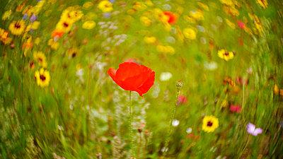 Flower field - p1654m2280230 by Alexis Bastin