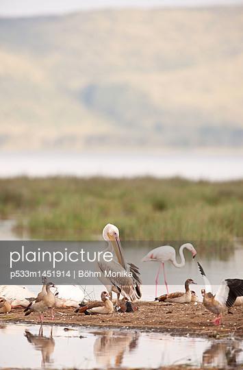 Junger Pelikan mit Nilgänsen - p533m1451914 von Böhm Monika