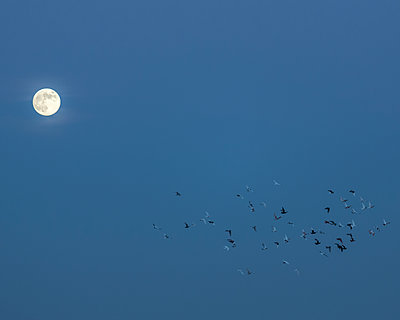Birds and full moon - p1542m2203497 by Roger Grasas