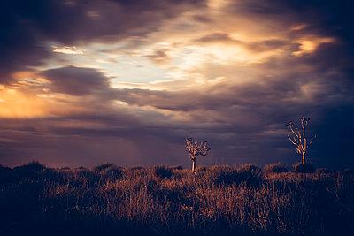 Köcherbaum, Fishriver Canyon, Namibia - p642m892540 von brophoto