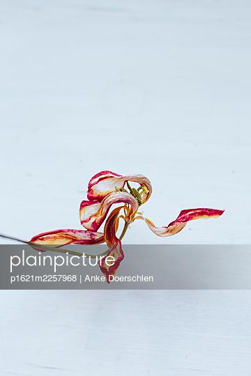 Tulip - p1621m2257968 by Anke Doerschlen