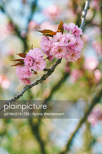Pink blossoms - p218m2191739 by Sylvia Westermann