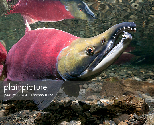 Underwater View Of Mature Sockeye Salmon Male In Power Creek, Copper River Delta Near Cordova, Prince William Sound, Southcentral Alaska, Summer