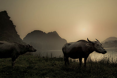 Two buffalo graze by the Son river, Phong Nha, Vietnam, Southeast Asia - p934m1177187 by Ian Thuillier