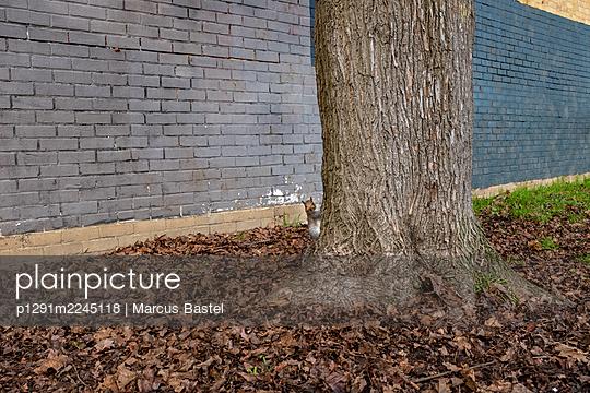 Squirrel climbing on tree - p1291m2245118 by Marcus Bastel