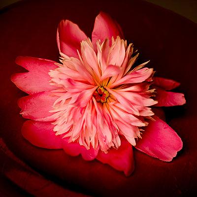 Pink Peony Flower, Close-up - p694m2068318 by Lori Adams