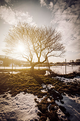 Winter snow covered landscape with tree silhouette and sun flare - p968m952950 by Roberto Pastrovicchio