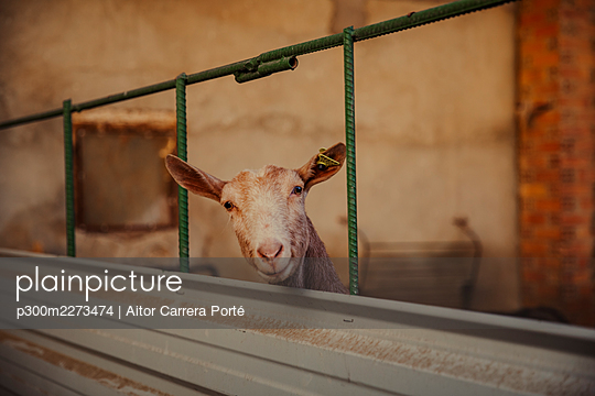 Goat looking at camera - p300m2273474 by Aitor Carrera Porté