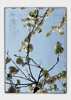 Collage, Cherry blossom seen through window, close-up - p300m980183 by Anja Weber-Decker