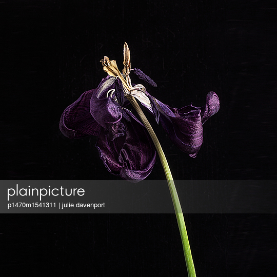 Faded Tulip - p1470m1541311 by julie davenport