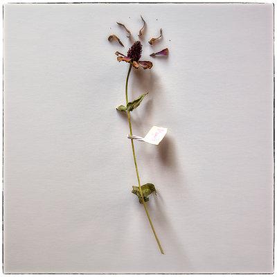 Vertrocknete Blume Echinacea purpurea - p1154m1110155 von Tom Hogan