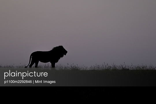 Silhouette of a male lion, Panthera leo, standing in short grass - p1100m2292846 by Mint Images