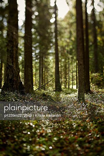 Sunbeams light up mossy forest soil - p1239m2272849 by Krista Keltanen