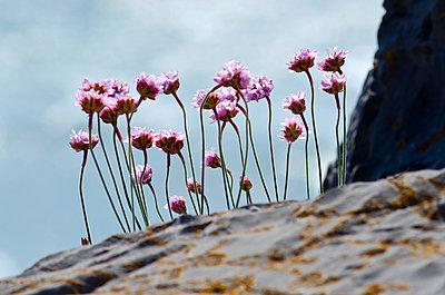 Kleine Nelken an einer Klippe - p1562m2187020 von chinch gryniewicz