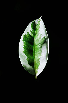 Leaf of a rubber plant - p1149m1123232 by Yvonne Röder