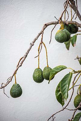 Avocado tree II - p161m902899 by Kerstin Schomburg