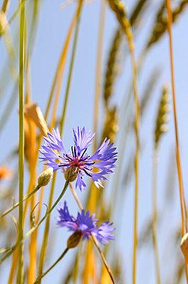 Cornflower - p470m830647 by Ingrid Michel