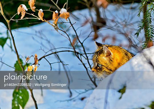 Wildkatze (felis silvestris) im Schnee - p1463m2228532 von Wolfgang Simlinger