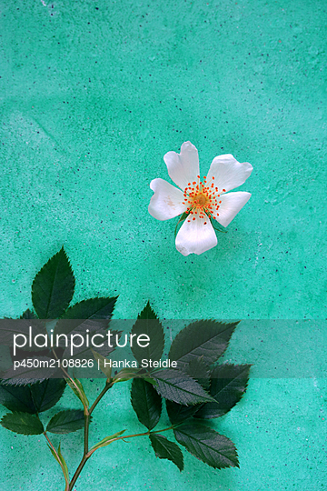 Zerschnittene Rose    - p450m2108826 von Hanka Steidle