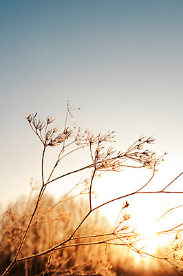 Grasses on a frosty winter day - p470m2089754 by Ingrid Michel