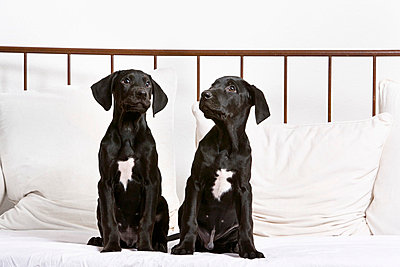 Two black puppies - p5730276 by Birgid Allig