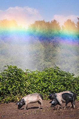 Angler-Sattelschwein - p739m816994 von Baertels