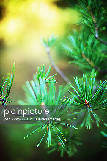 Spruce tree branches detail. - p1166m2088101 by Cavan Images