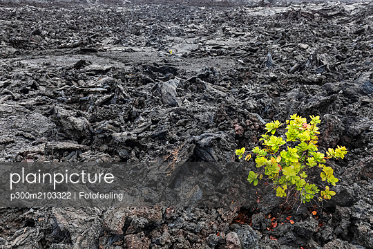 USA, Hawaii, Volcanoes National Park, plant growing on igneous rocks - p300m2103322 by Fotofeeling