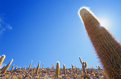 Desert Cactuses - p1072m829200 by Mike Steel