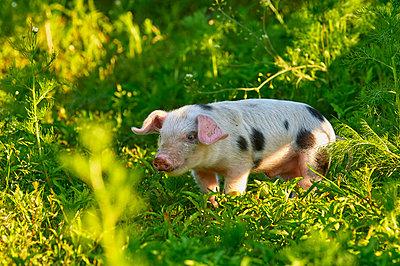 Buntes Bentheimer Schwein - p1099m1526311 von Sabine Vielmo