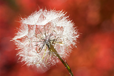 A dandelion seedhead, delicate and fluffy.  - p1100m962239f by David Schultz