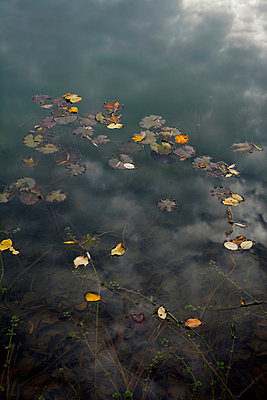 Autumn leaves on water surface of a sea - p300m1023571f by Axel Ganguin