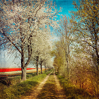 Dirt track along a row of blossoming cherry trees - p300m980233 by Dirk Wüstenhagen