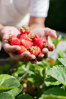 Hands holding strawberries - p312m1471278 by Christina Strehlow
