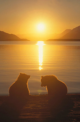 Grizzly Bear cubs silhouetted against water at sunrise - p884m864559 by Matthias Breiter