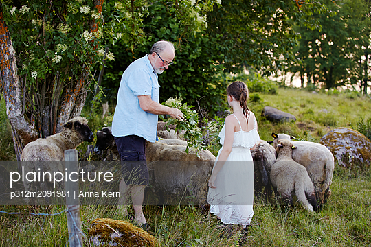 Father with daughter feeding sheep - p312m2091981 by Anna Kern